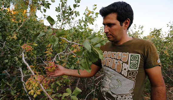 An Iranian man works at Hassan Ali Firouzabadi's pistachio farm on August 14, 2016 in Izadabad, a village in the southern Iranian Kerman province. In Kerman province in southern Iran, cities have grown rich from pistachios, but time is running out for the industry as unconstrained farming and climate change take a devastating toll. Some of Firouzabadi's pistachio trees have been around long enough to remember the golden age of Shah Abbas in the 17th century, but the leaves have turned yellow-green from the salty water he now dredges up. / AFP / ATTA KENARE / TO GO WITH AFP STORY BY ERIC RANDOLPH (Photo credit should read ATTA KENARE/AFP/Getty Images)