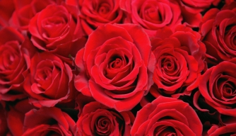 Roses 1a red