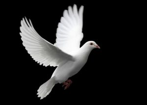 Dove of peace image 1a by Vimeo