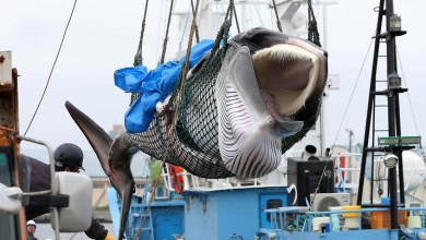 Photo of Japanese whaling ship returns home after first commercial hunt in decades