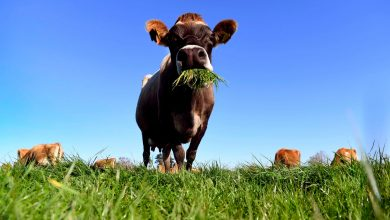 Photo of From red seaweed to climate-smart cows: New Zealand leads the fight against methane