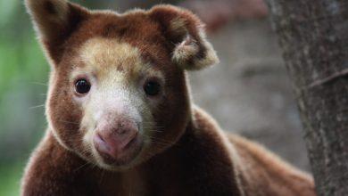 Photo of Coronavirus closures threaten future of Papua New Guinea's only animal rescue centre