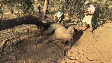 Photo of Zimbabwe investigating 22 elephant deaths