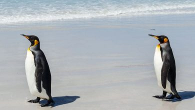Photo of The Mystery of the World's Loneliest Penguins